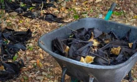How one heatwave killed 'a third' of a bat species in Australia