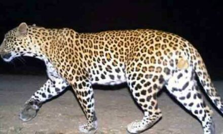 Leopard Preys On 5th Human Victim In UP District