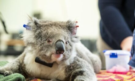 Koalas return to the wild after being rescued from bushfires