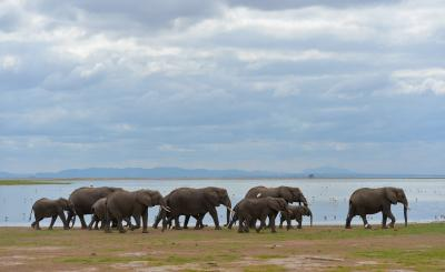 Kenya's elephant number increases at 2.8%