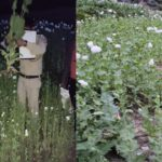 15L poppy plants seized in Himachal after 17-hr operation